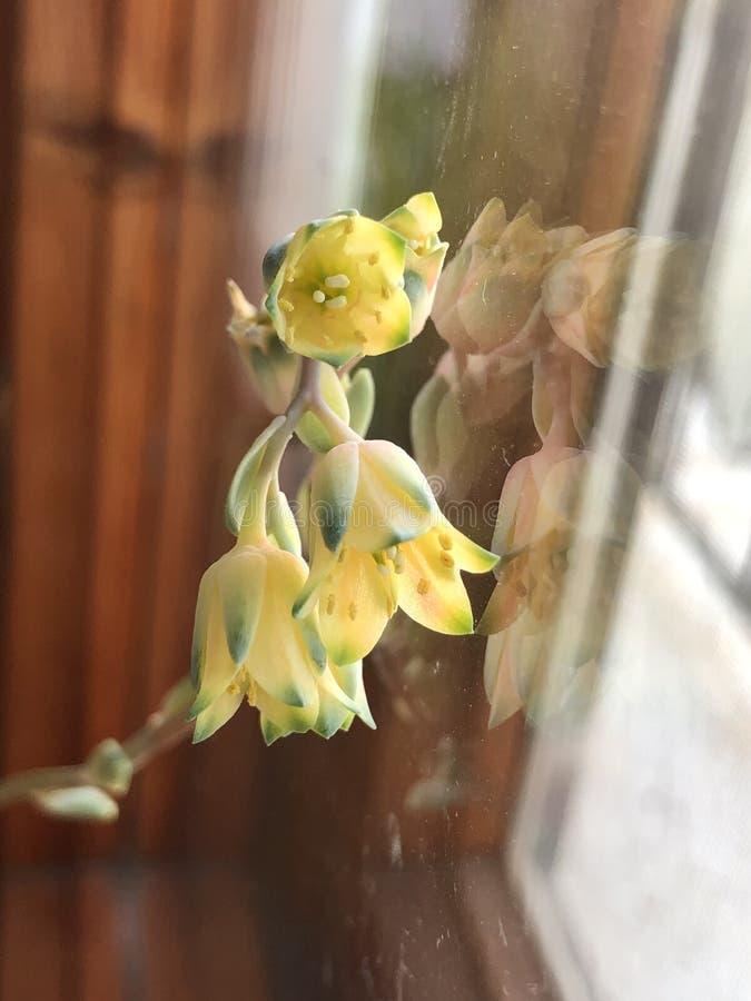 关闭开花的多汁植物一点黄色花  免版税库存照片