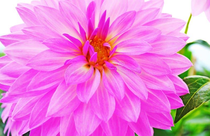 关闭开花的紫色大丽花花 免版税库存图片