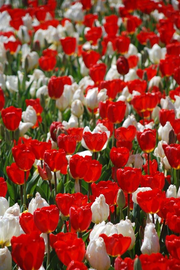 关闭开花红色和白色郁金香花圃  库存图片
