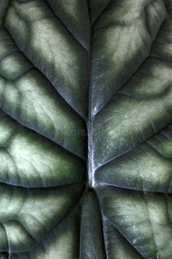 关闭异乎寻常的'海芋Baginda Cuprea龙标度'房子植物背景的叶子样式 图库摄影