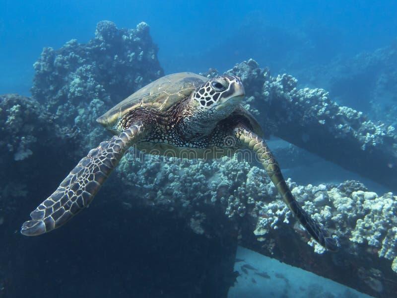 关闭往照相机的海龟游泳在礁石水中 库存照片