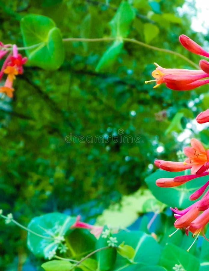 关闭忍冬属植物花 库存图片
