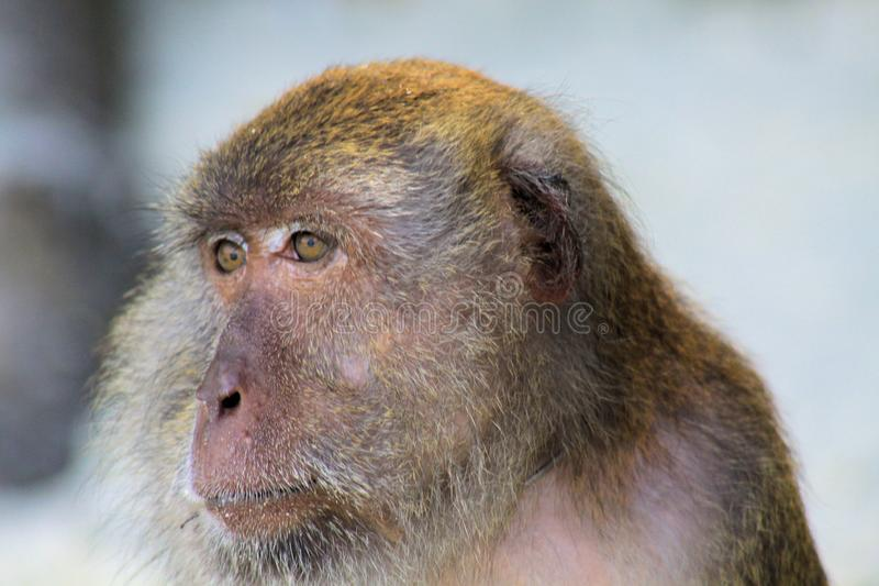 关闭愤怒猴子吃长尾的短尾猿,在海滩的猕猴属fascicularis,Ko Lipe,泰国的面孔螃蟹 免版税库存图片