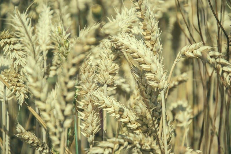 关闭成熟在领域的黄色麦子耳朵在夏时 金黄麦子小麦属植物小尖峰细节  收获富有 免版税库存图片