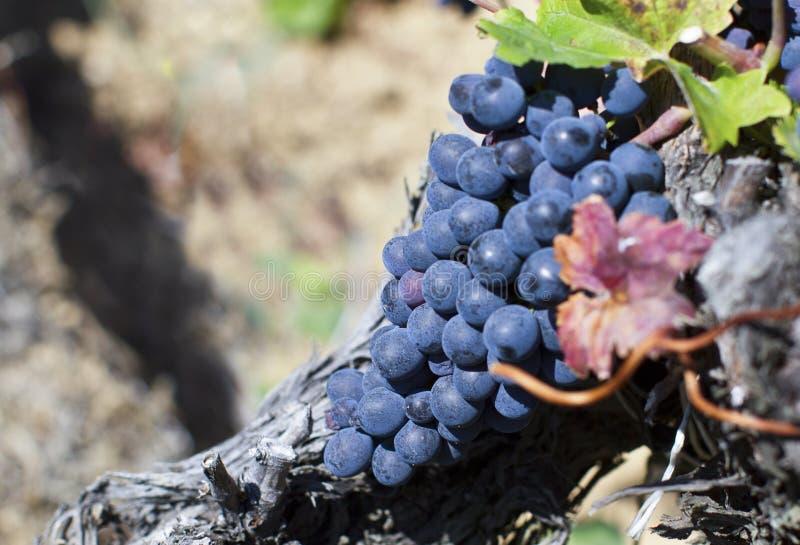 关闭成熟红葡萄准备好秋天收获 图库摄影