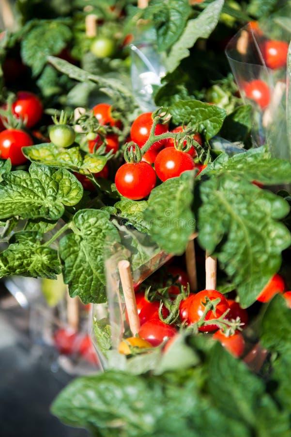 关闭成熟西红柿的图象在木棍子的 免版税库存照片