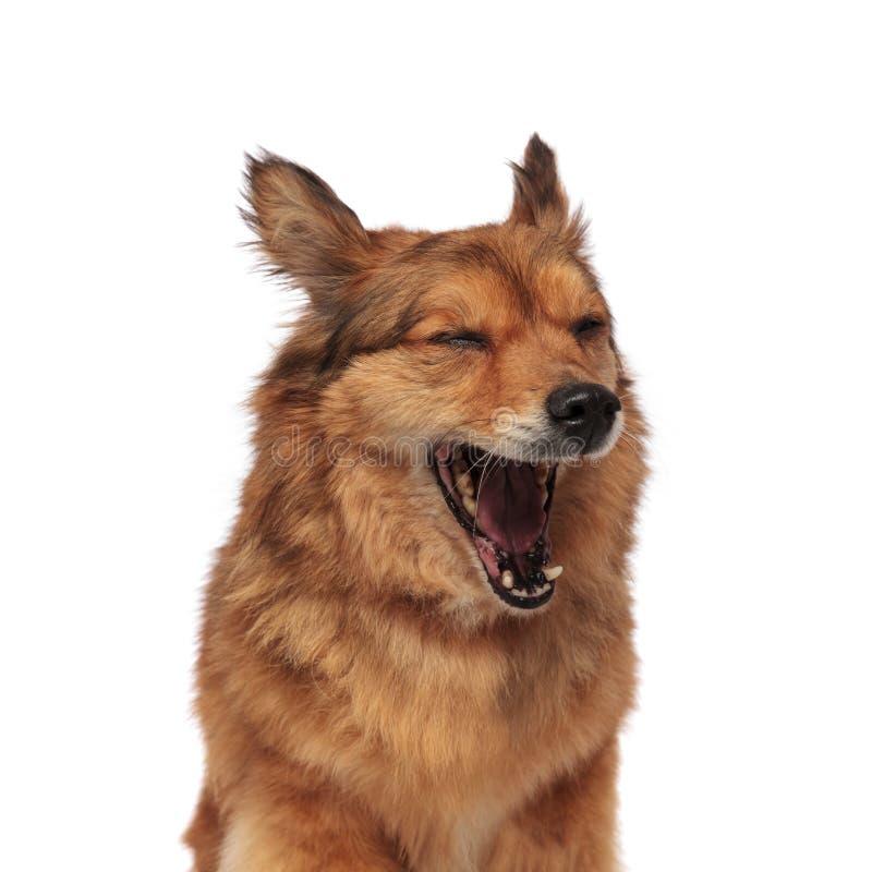 关闭打呵欠疲乏的棕色metis的狗 免版税图库摄影