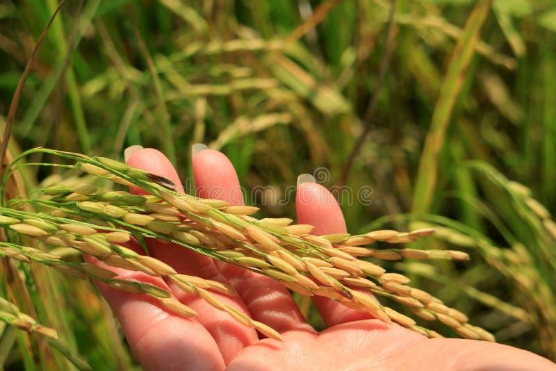 关闭拿着粮食作物的成熟米五谷的稻田的女性的手 库存照片