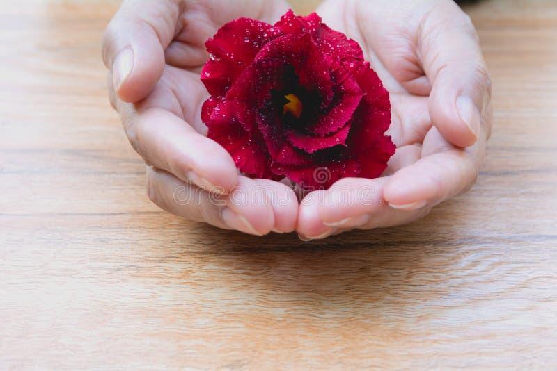 关闭拿着红色玫瑰,在木桌backg的红色花的手 免版税库存图片