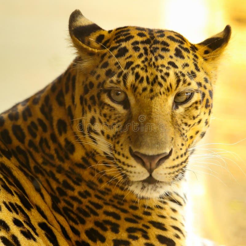 关闭捷豹汽车动物的面孔 图库摄影