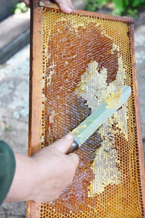 关闭提取蜂蜜的老蜂农手从室外黄色的蜂窝 蜂农裁减蜡从蜂窝框架 免版税库存照片