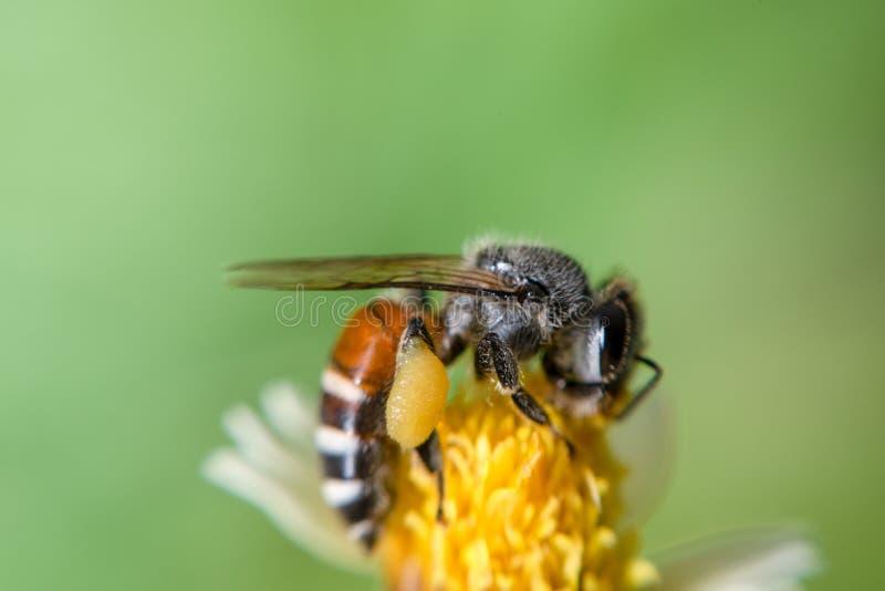 关闭收集蜂蜜的蜂蜜 库存照片