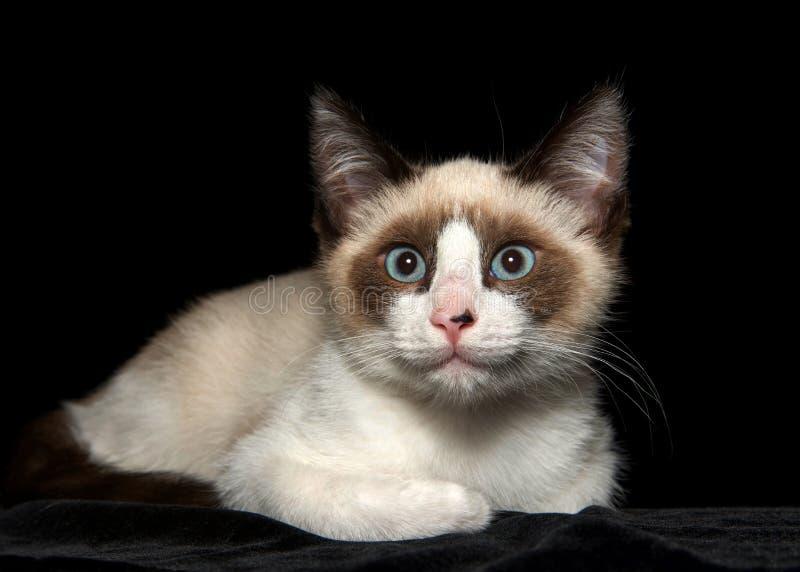 关闭放置在黑色的封印点暹罗小猫 免版税图库摄影