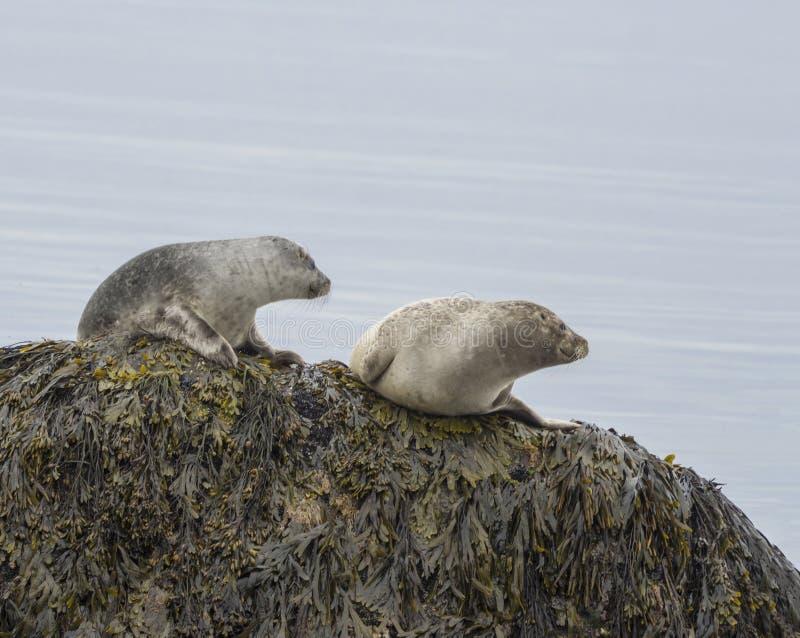 关闭斑海豹海豹属vitulina、男性和女性开会 免版税库存照片