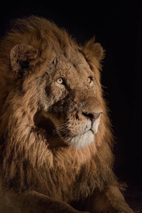 关闭斑点被点燃的男性狮子` s面孔 免版税图库摄影