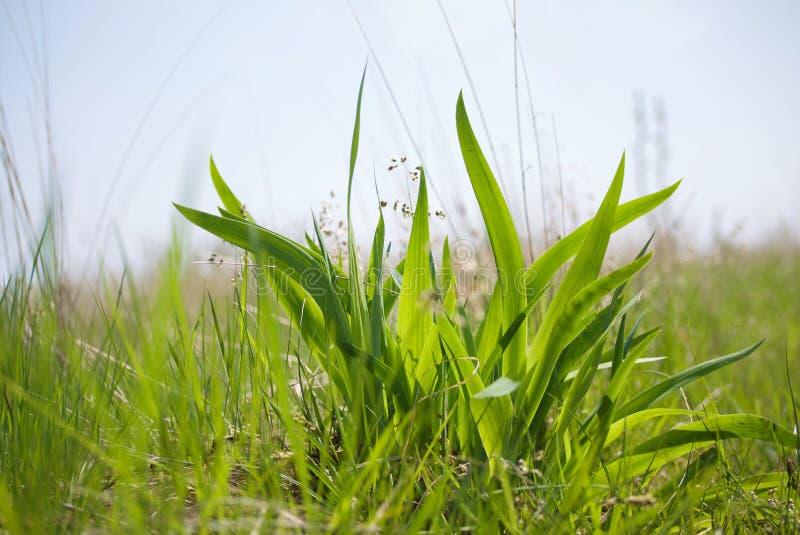 关闭新鲜的绿草灌木在天空背景的 免版税图库摄影
