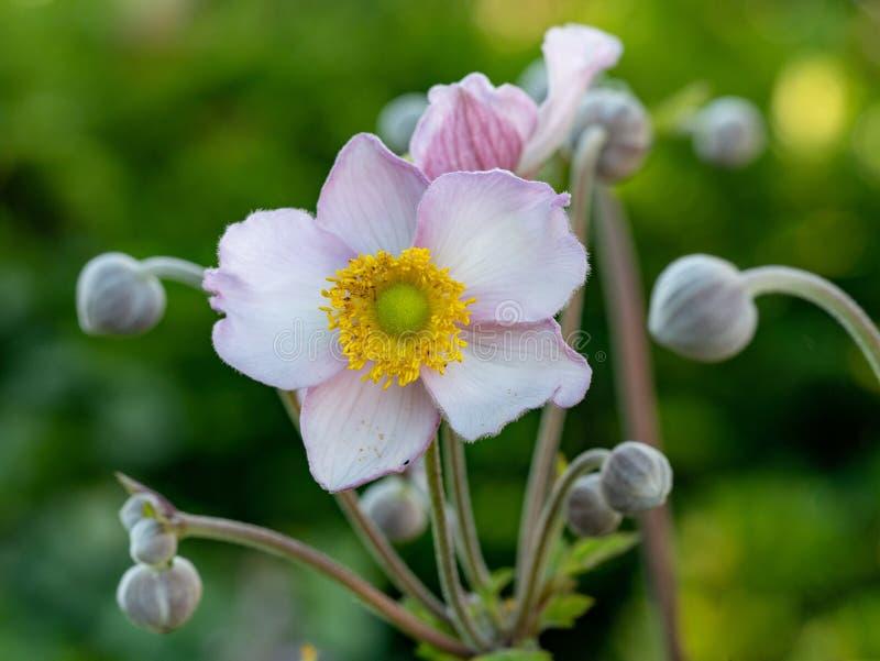 关闭日本银莲花属银莲花属hupehensis花照片  库存图片