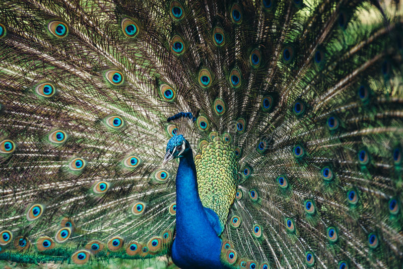 关闭显示它美丽的羽毛的孔雀 显示他的尾巴的美丽的孔雀男性 免版税库存照片
