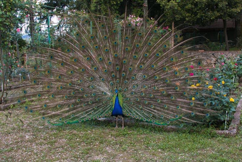 关闭显示它美丽的羽毛的孔雀 图库摄影
