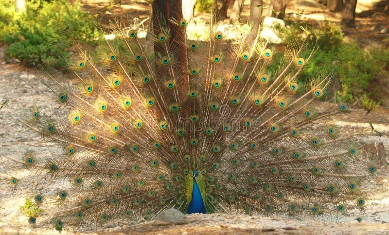关闭显示它美丽的羽毛的孔雀 免版税图库摄影