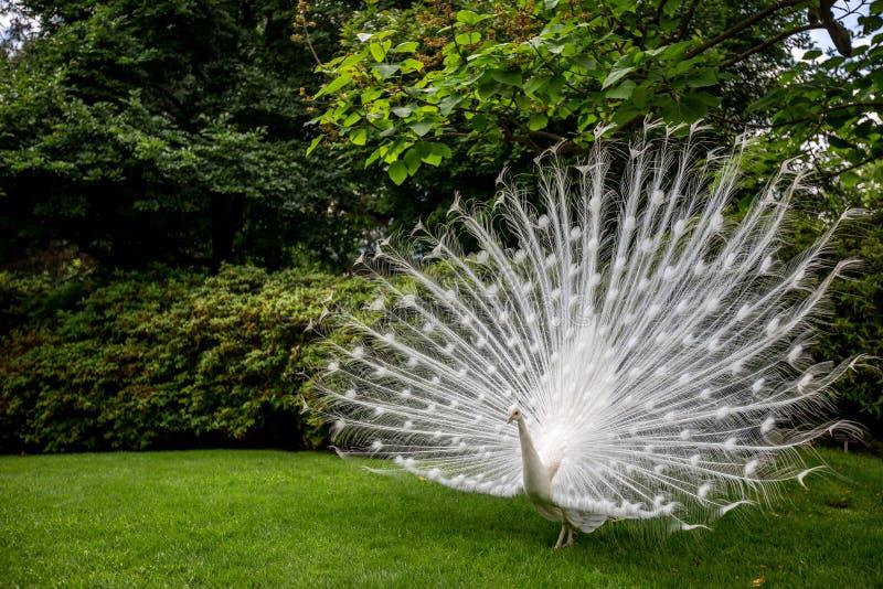 关闭显示美丽的羽毛的白色孔雀 免版税库存图片