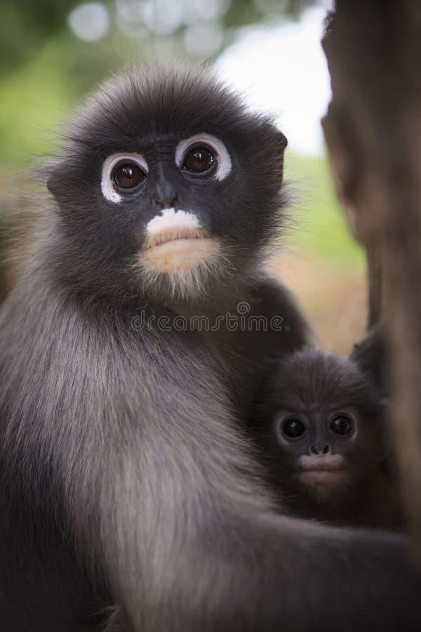 关闭暗淡的叶子猴子和新的孩子的母亲面孔在温暖 免版税库存图片