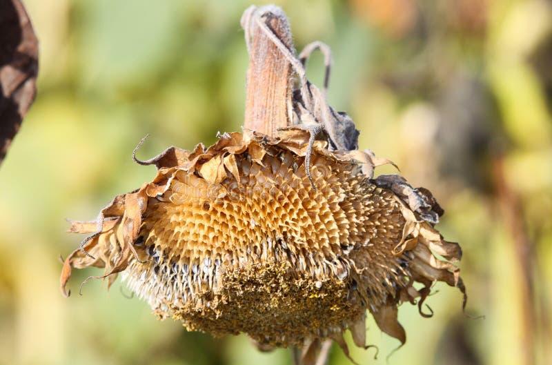关闭有垂悬的头的被隔绝的哀伤的棕色退色的向日葵向日葵开花在秋天有被弄脏的背景 免版税库存照片