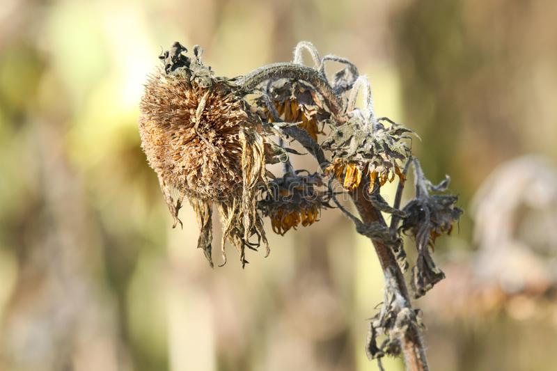 关闭有垂悬的头的被隔绝的哀伤的棕色退色的向日葵向日葵开花在秋天有被弄脏的背景 免版税库存图片