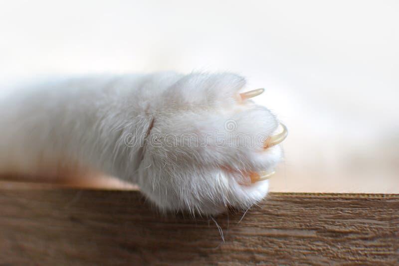 关闭有延长的爪的一个白色猫爪子 免版税库存图片
