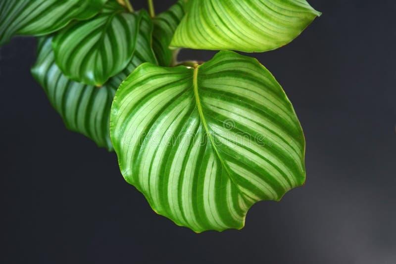 关闭有异乎寻常的'Calathea Orbifolia祷告厂'室内植物的条纹的圆的叶子在黑背景的 免版税库存图片