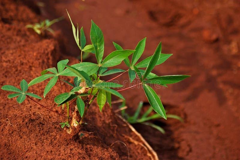 关闭木薯树iin行自然绿色木薯领域, 库存照片
