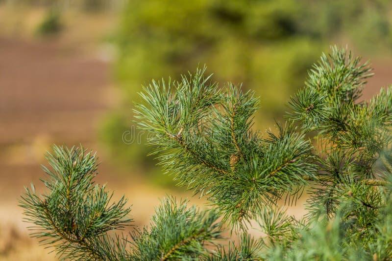 关闭杉木的分支 免版税库存图片