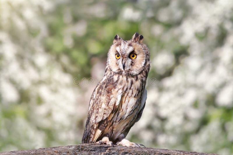 关闭栖息在岗位的一只长耳朵猫头鹰 免版税库存照片