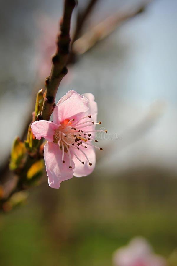 关闭桃树在分支的桃红色花 库存图片