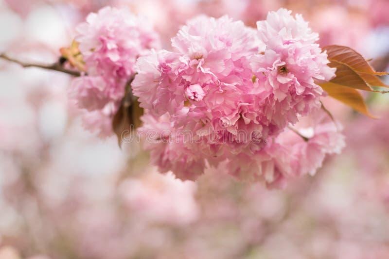 关闭桃红色佐仓花-樱花在春天 免版税库存图片