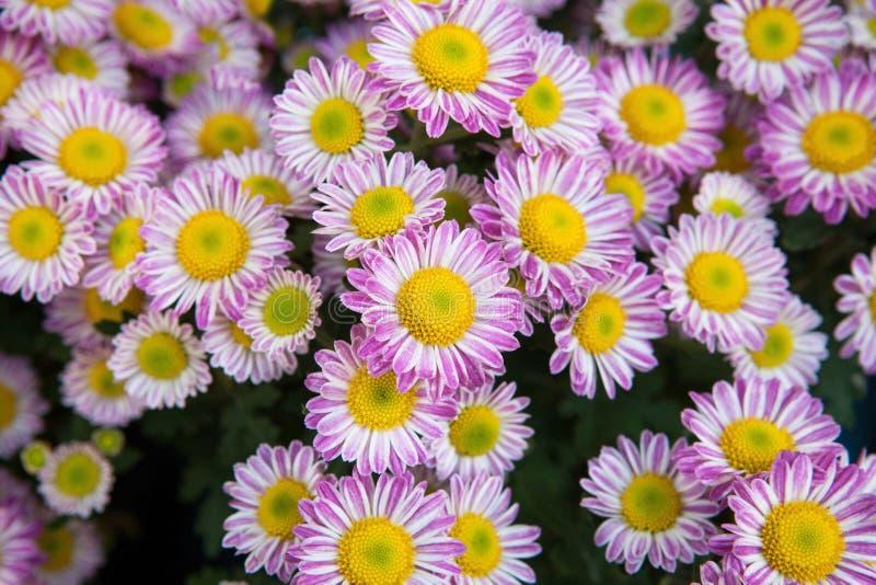 关闭桃红色和黄色菊花雏菊花用途作为植物群并且发芽瓣背景,背景 免版税库存图片
