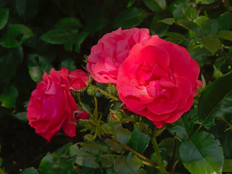 关闭桃红色玫瑰 库存图片