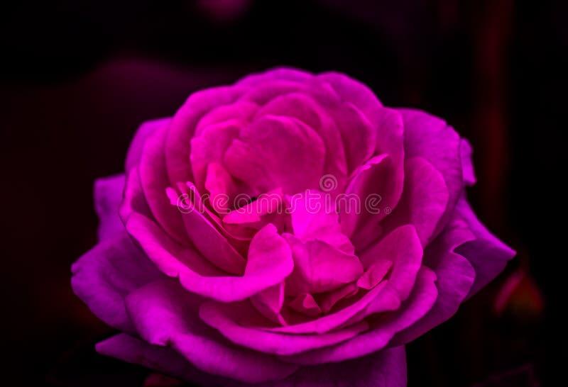 关闭桃红色紫色玫瑰在黑暗的背景中 免版税库存照片