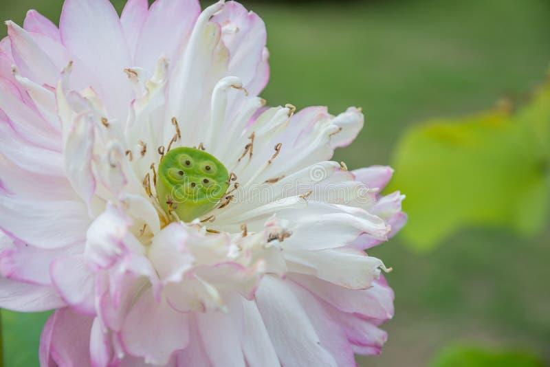 关闭桃红色莲花用种子荚 免版税图库摄影