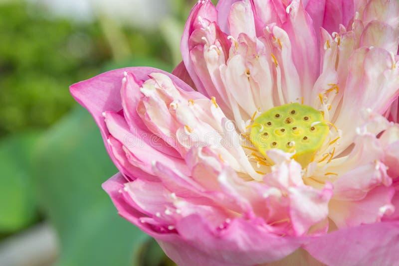 关闭桃红色莲花用种子荚 免版税库存照片