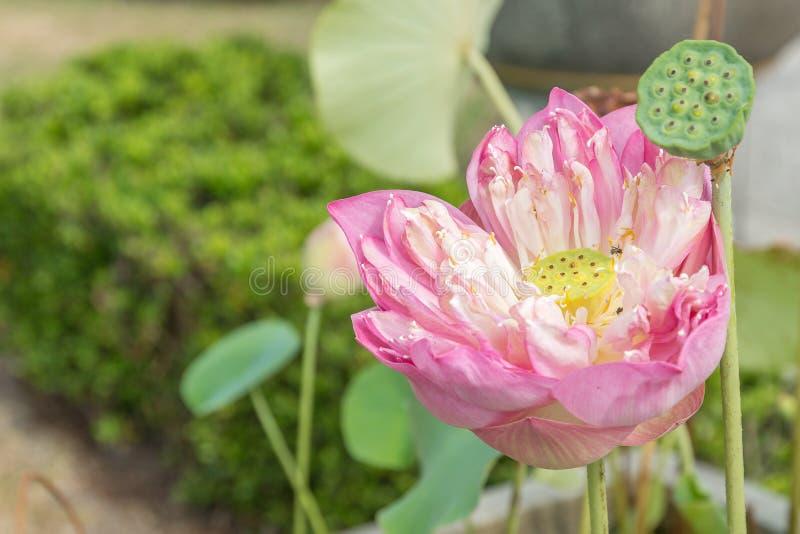 关闭桃红色莲花用种子荚 免版税库存图片