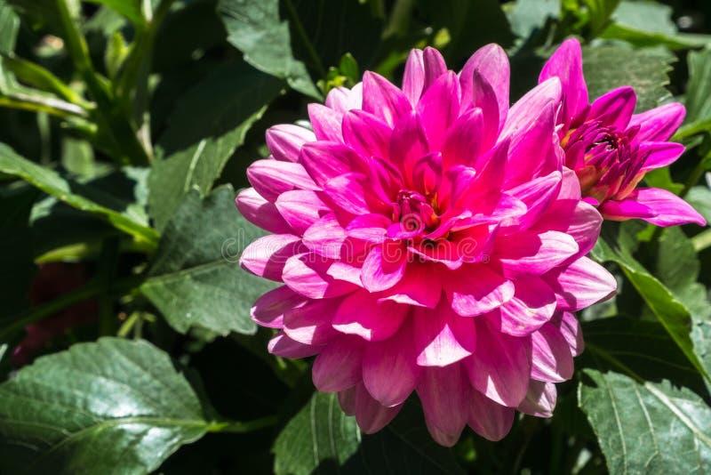 关闭桃红色鳍类的大丽花大丽花Pinnata花;绿色叶子可看见在背景中 图库摄影