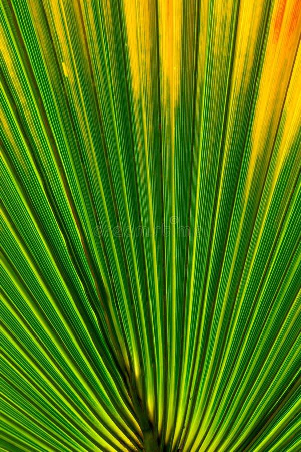 关闭棕榈树叶子纹理/热带自然本底 库存照片图片