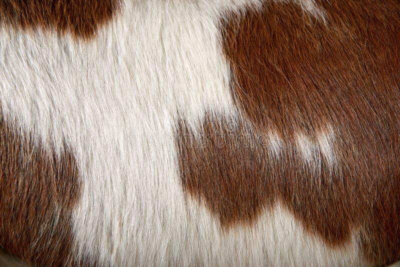 关闭棕色和白色被察觉的母牛细节  免版税库存照片