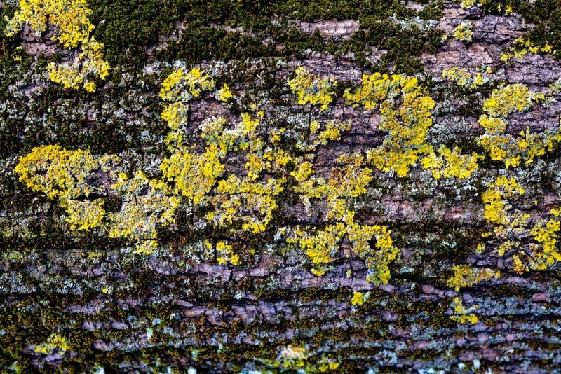 关闭棕色树皮看法与青苔和真菌的背景纹理的 库存照片
