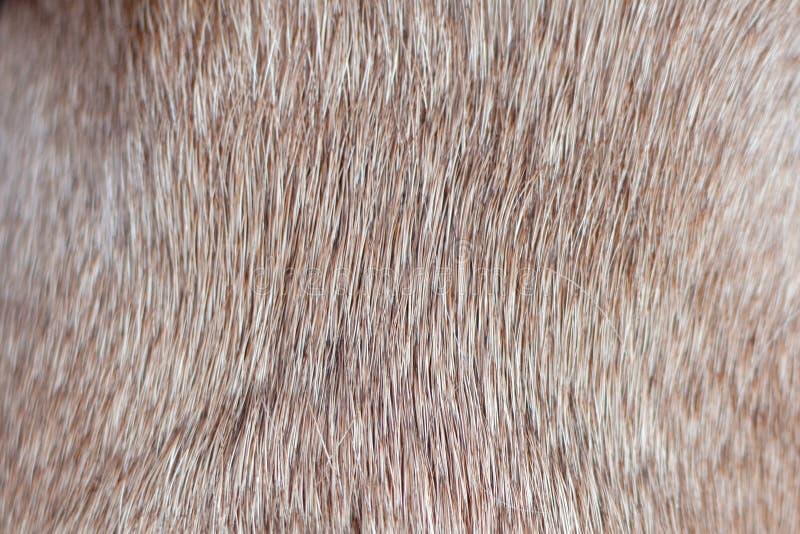 关闭棕色短发健康狗毛皮,不用绒毛 库存图片