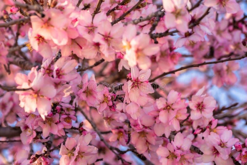 关闭榆叶梅树 美丽的杏仁花开花,在春天背景 美好的自然场面与 免版税库存照片
