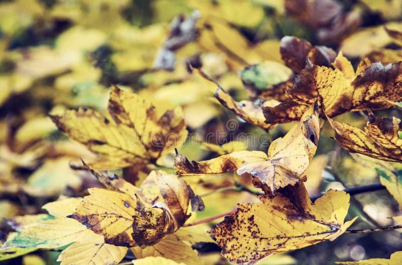 关闭槭树,老过滤器照片与黄色叶子的 免版税库存照片