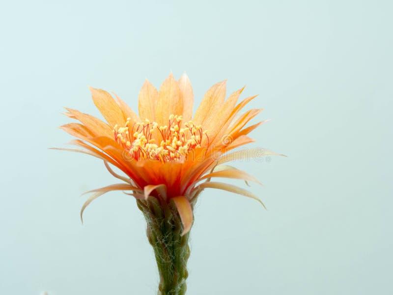 关闭橙色仙人掌花 显示花和瓣细节  库存图片