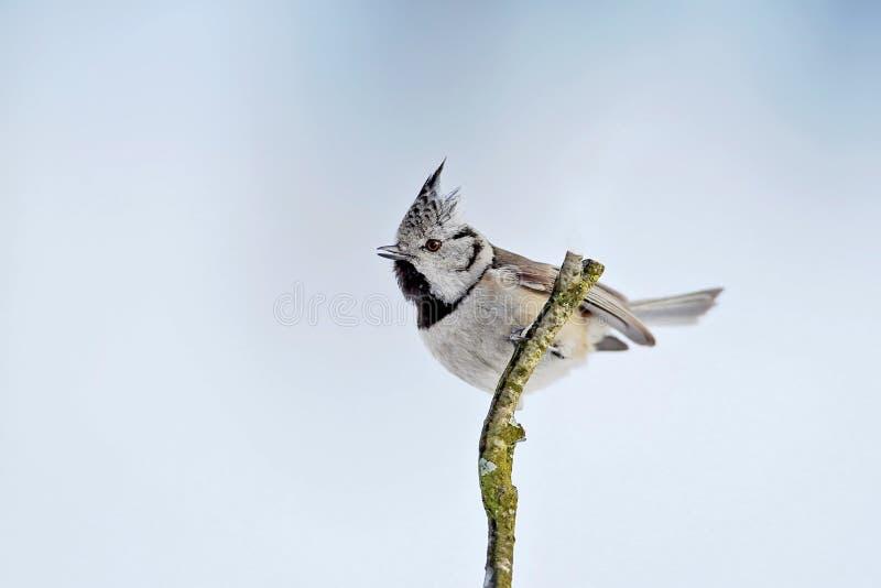 关闭欧洲有顶饰山雀的冬天画象 图库摄影